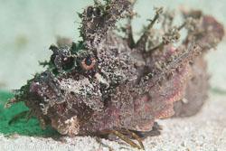 BD-111128-Raja-Ampat-5505-Scorpaenopsis-diabolus-(Cuvier.-1829)-[False-stonefish].jpg